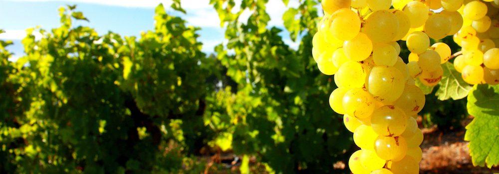 Traubenkernextrakt aus Vitis Vinifera